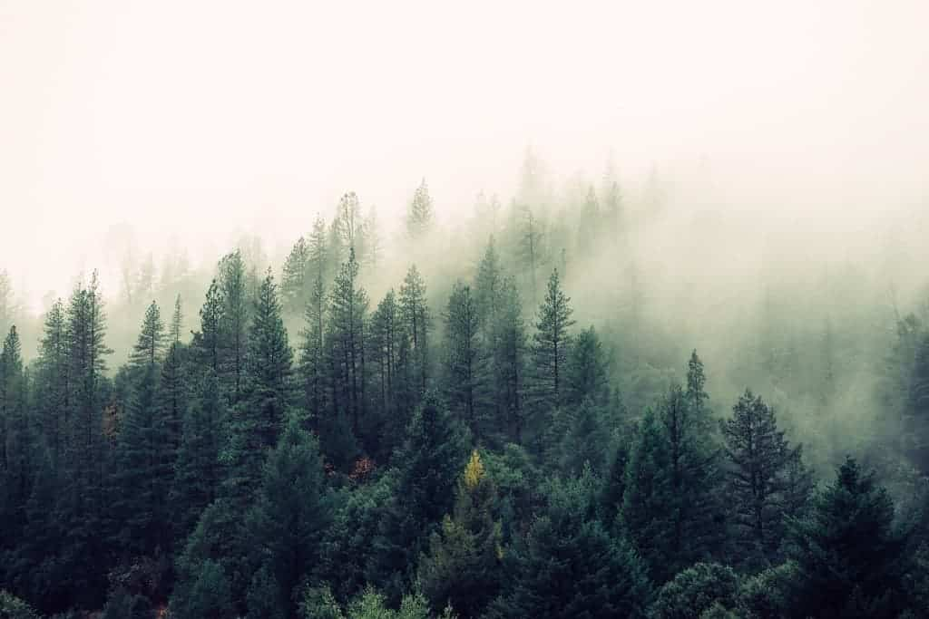 landscape_pine_mist_winter