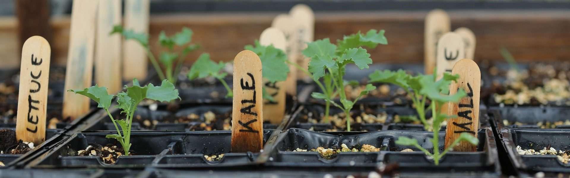 kale and lettuce seedlings