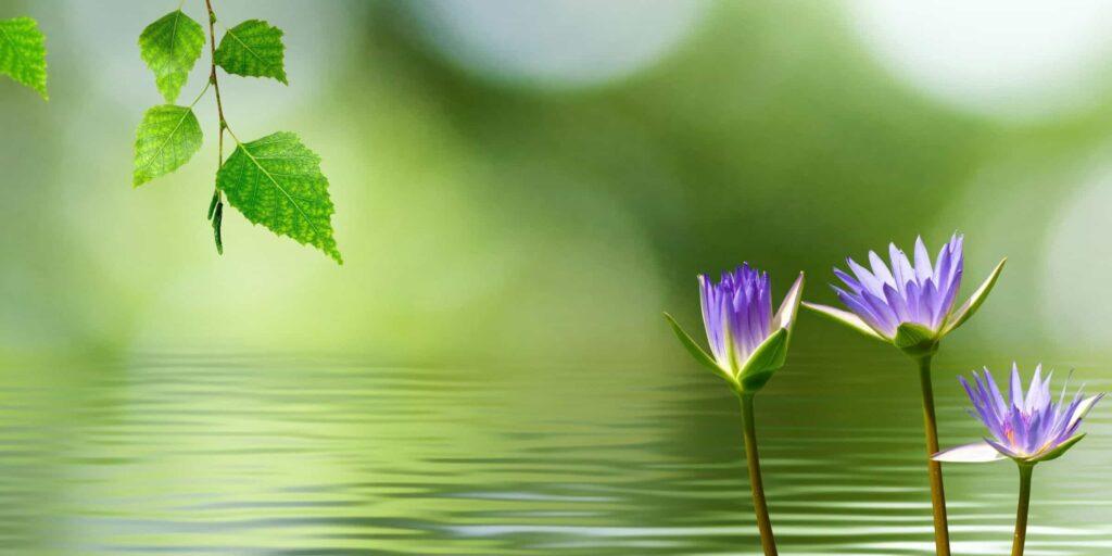 lotus flowers water