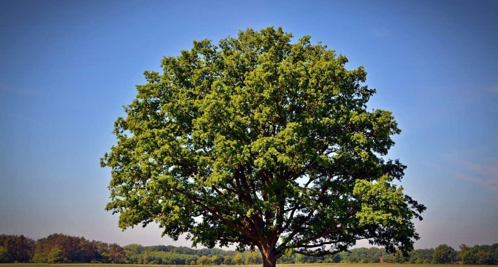 Shady Oak Tree